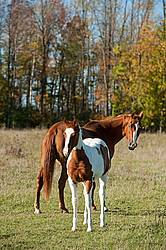 Mare and Paint foal