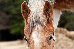 Portrait of a Yearling Belgian Draft Horse