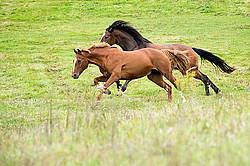 Horses galloping in field