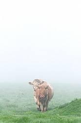 Charolais bull and cow
