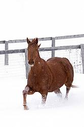 Single chestnut horse trotting through deep snow