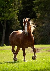 Belgian draft horse gelding trotting around a field