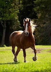 Belgian draft horse gelding trotting around a field