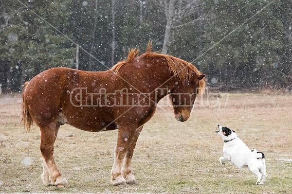 Belgian draft horse and farm dog having a showdown