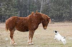 Belgian draft horse and farm dog having a showdown