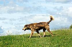 Brown dog in field