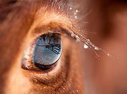 Closeup photo of cow eye