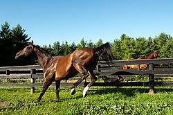 Bay Thoroughbred horse running and playing in his paddock