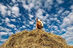 Belgian draft horse standing in hay pile