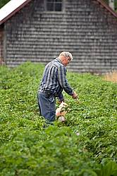 Farmer picking potato bugs off an organic crop of potato plants using a pail and a stick