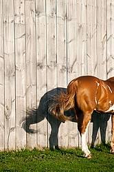 paint horse standing beside barn