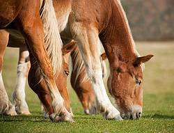 Three horses grazing on pasture