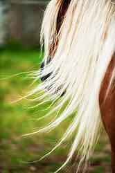 Long flowing horse mane
