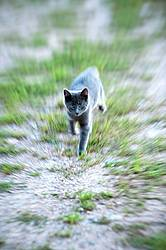 Gray kitten running and playing outside. Motion blur.