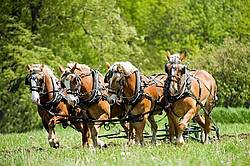 Hitch of Belgian Draft Horses