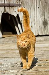 Orange barn cat walking around outside the barn.
