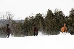 Horses running through deep snow