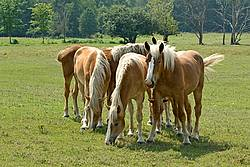 A group of Belgian yearlings on summer pasture.