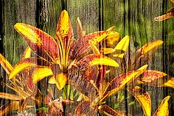 Multiple exposure of yellow lillies on barn boards