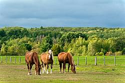 Three chestnut horses grazing on summer pasture
