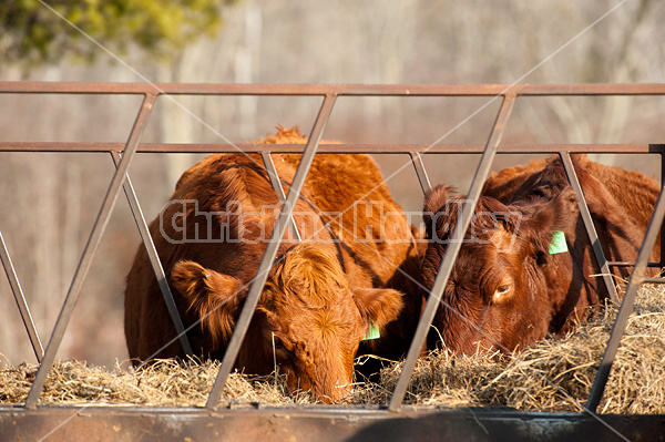 Beef cow eating hay out of feeder