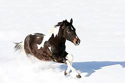 Young paint horse galloping through deep snow