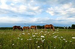 Four horses grazing on springtime pasture