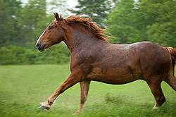 Belgian draft horse running in field. Photographed with a slow shutter speed to imply motion