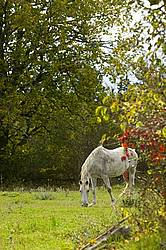 Grey horse grazing on autumn pasture