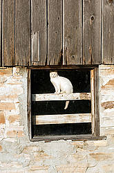 White barn cat sitting in barn window