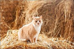 Orange barn cat sitting on straw
