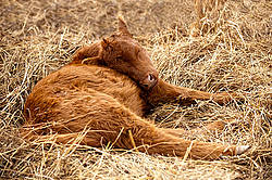 Baby beef calves sleeping in a bed of straw