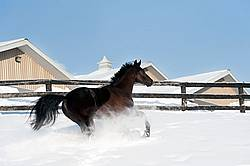 Dark bay Hanoverian horse galloping through deep snow