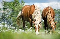 Two Horses Grazing in Summer Pasture