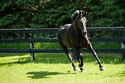 Hanoverian horse gelding