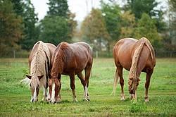 Three horses grazing in the rain