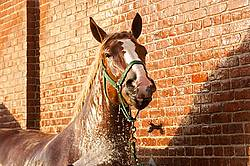 Belgian draft horse tied in wash rack at a fair