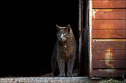 Gray barn cat