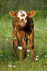 Cute baby beef calf standing in a field