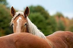 Young belgian draft horse gelding