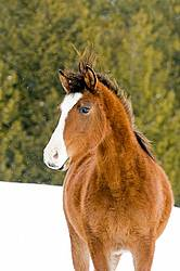 Young Bay Rocky Mountain Horse