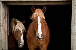 Horse portrait in barn door against natural black background