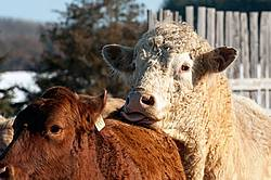 Charolais bull and Angus cow