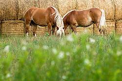 Two Belgian draft horses grazing on summer pasture.