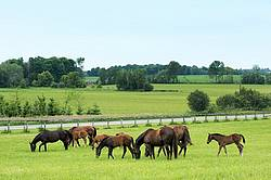 Herd of thoroughbred mareas and foals