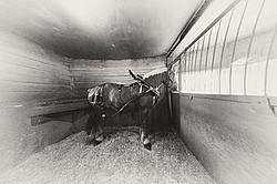 Belgian draft horse tied in stall wearing show harness. Getting ready t o be hitched to the wagon.