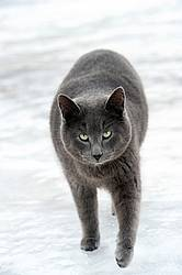 Gray cat walking in snow