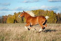 Belgian draft horse gelding galloping in field