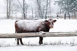Beef Cow Outside in Snow