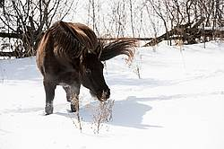 Dark bay horse standing in deep snow